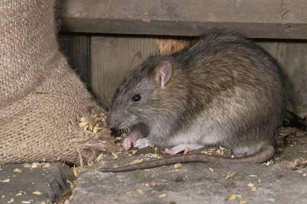 Tips Mengusir Gangguan Tikus di Rumah