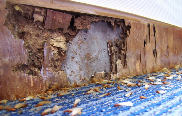 Mencegah dan Mengendalikan Hama Rayap Pada Bangunan