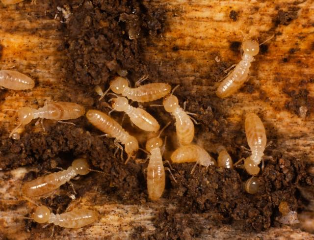 fakta fakta tentang rayap