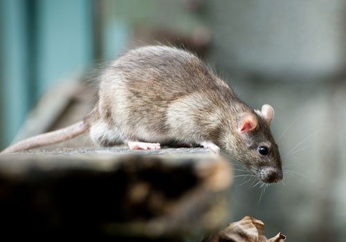 Ketahui Tanda-Tanda Keberadaan Hama Tikus Pada Bangunan Anda
