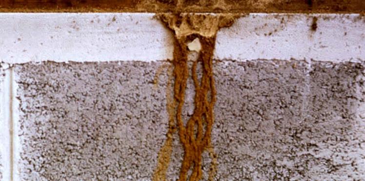 Cara Mencegah Rayap Pada Bangunan Anda