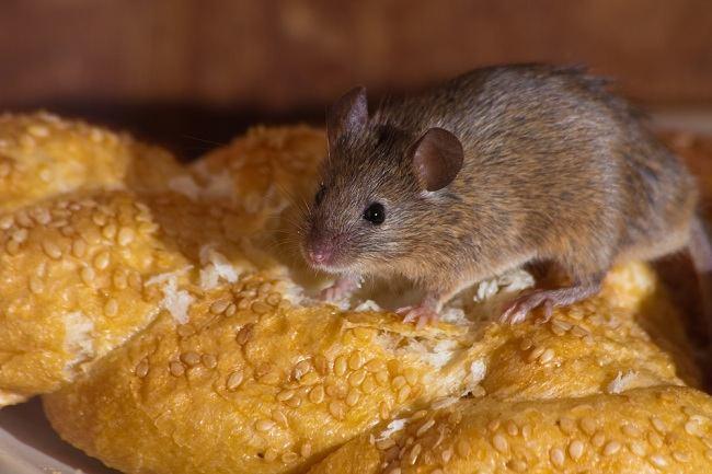 Bahaya Urin Tikus Untuk Kesehatan