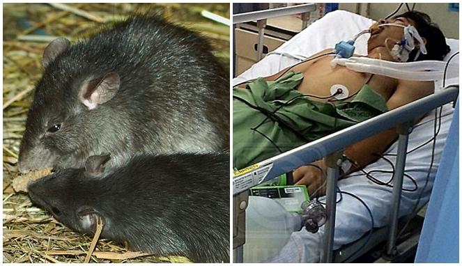 4 Penyakit yang Disebabkan Oleh Tikus