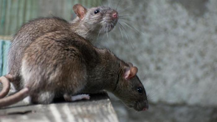 Waspada Penyakit Kencing Tikus di Musim Hujan dan Banjir